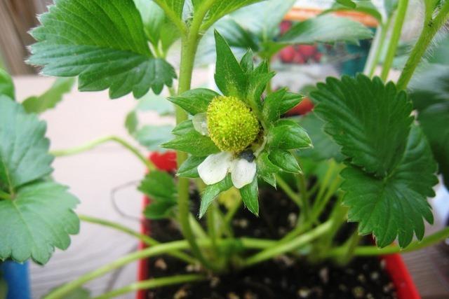 gardenstrawberrycloseupday1.jpg