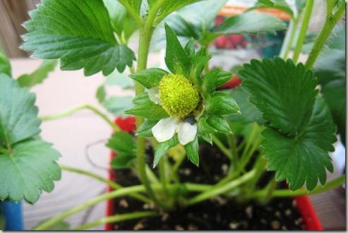 gardenstrawberrycloseupday1_thumb.jpg