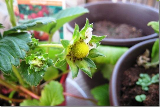 gardenstrawberrycloseupday21_thumb.jpg